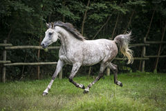 Arabian Horse trotting. Grey Arabian Horse trots in a field Stock Photography