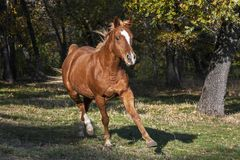 Arabian Horse Trotting at Liberty in the Woods royalty free stock images