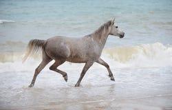 Arabian horse trotting in the sea water. Grey Arabian horse trotting in the sea water Stock Image