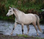 Arabian horse walks in a creek Royalty Free Stock Images