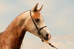 Arabian horse with water. Arabian horse portrait stock photos