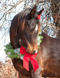 Arabian horse wearing a Christmas wreath Stock Images