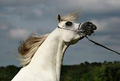 Arabian horse and wind. Beautiful young white Arabian horse stock photography