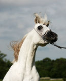 Arabian horse and wind. Beautiful young white Arabian horse Stock Image