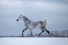 Arabian horse on winter background Stock Photo