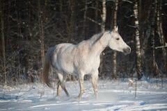 Arabian horse. In winter forest stock photo