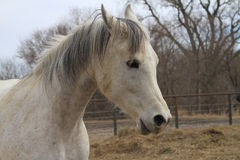 Arabian horse in winter pasture Stock Photo