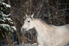 Arabian horse in winter Stock Photos
