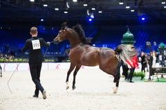 Arabian horse world championship, Nord Villepente in Paris. PARI Royalty Free Stock Photo