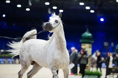 Arabian horse world championship, Nord Villepente in Paris. PARI Stock Photography
