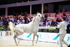 Arabian horse world championship, Nord Villepente in Paris. PARI Royalty Free Stock Image