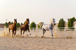 Arabian Horses Royalty Free Stock Images