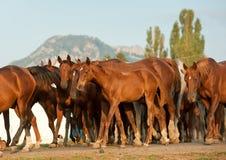 Arabian horses Royalty Free Stock Photos