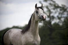 Arabian horses. Beautiful grey young  Arabian horse Royalty Free Stock Photos