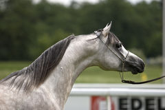 Arabian horses Royalty Free Stock Images