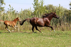 Arabian horses canter on natural background summertime. Arabian breed foal and mare galloping in a meadow stock image