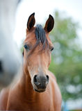 Arabian horses Stock Photos