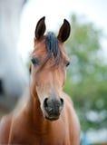 Arabian horses. Close up headshot Stock Photos
