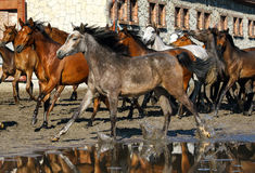 Arabian horses. Galloping on the pasture Royalty Free Stock Photos