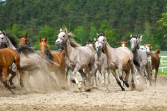 Arabian horses. Galloping on the pasture Royalty Free Stock Images
