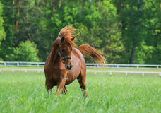 Arabian horses. Galloping on the pasture Royalty Free Stock Image