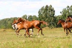 Arabian horses herd. In field Royalty Free Stock Photos