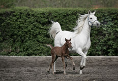 Arabian horses. Mather and beaby arabian horses Stock Photos