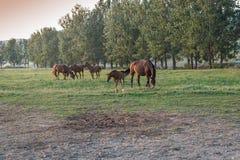 Arabian horses on the meadow. Arabian chestnut horses on the meadow Royalty Free Stock Photo