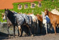 Arabian horses. In Michalow horse farm Poland Stock Photography