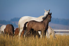 Arabian horses in the morning light Stock Image