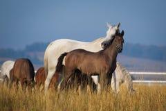 Arabian horses in the morning light Stock Image