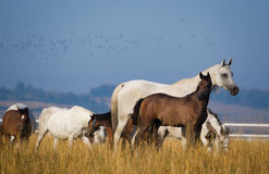 Arabian horses in the morning light Stock Photography
