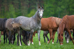 Arabian horses on the pasture Stock Photography
