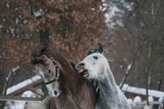2 Arabian horses plays in the snow. Gelding bites foal. 2 Arabian horses plays in the snow in the paddock against a white fence and trees with yellow leaves royalty free stock images