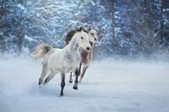 Arabian horses run. Grey arabian horses run gallop in snow stock photography