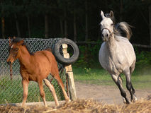 Arabian horses running royalty free stock images