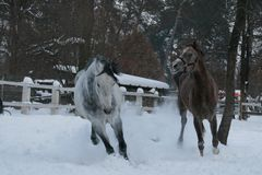 Arabian horses runs  in the snow in the paddock against a white fence and trees with yellow leaves royalty free stock photography