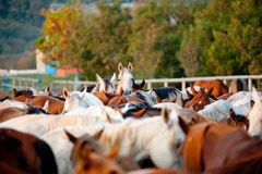 Arabian horses in stud. Arabian horses in a stud stock image
