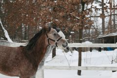 2 Arabian horses synchronously galloping in the snow in the paddock stock photos