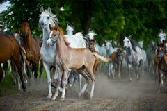 Arabian horses Stock Images