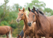 Arabian horses Royalty Free Stock Photo