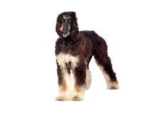 Arabian hound dog Stock Images