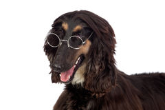 Arabian hound dog with glasses Royalty Free Stock Image