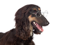 Arabian hound dog with glasses Stock Photos