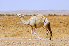 An Arabian or Indian Dromedary came walking alone the desert Stock Photos