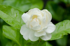 Arabian jasmine Royalty Free Stock Images