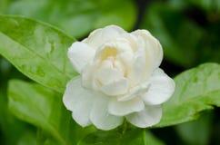 Arabian jasmine. Blooming in garden Royalty Free Stock Images
