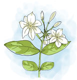 Arabian jasmine Flower painting Stock Photo