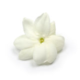 Arabian jasmine,  jasmine tea flower Stock Photos