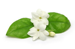 Arabian jasmine,  jasmine tea flower Royalty Free Stock Photography
